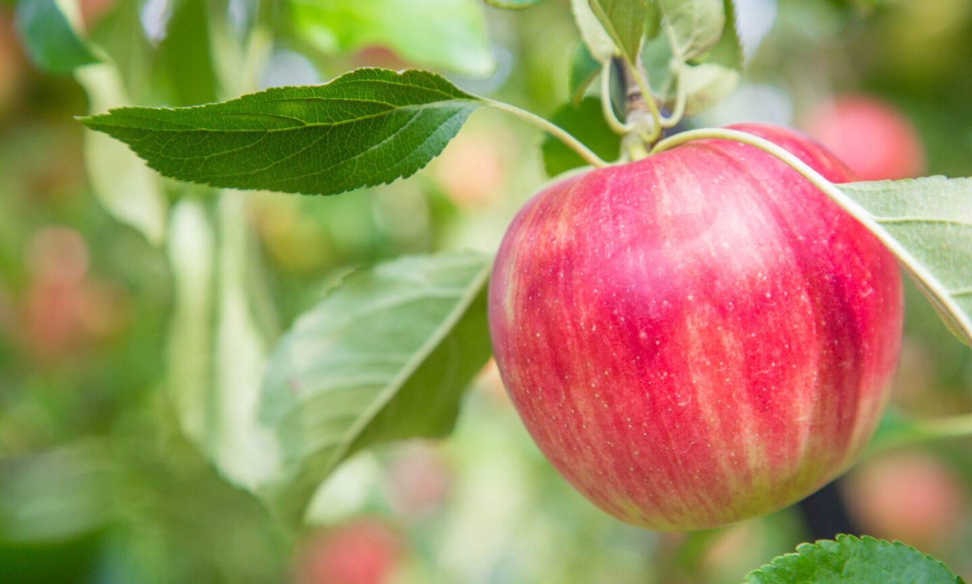 園 徳佐 りんご 大庭りんご園|山口県徳佐りんご園